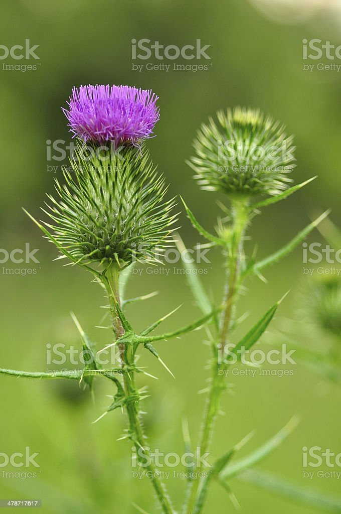 Thistle in bloom stock photo