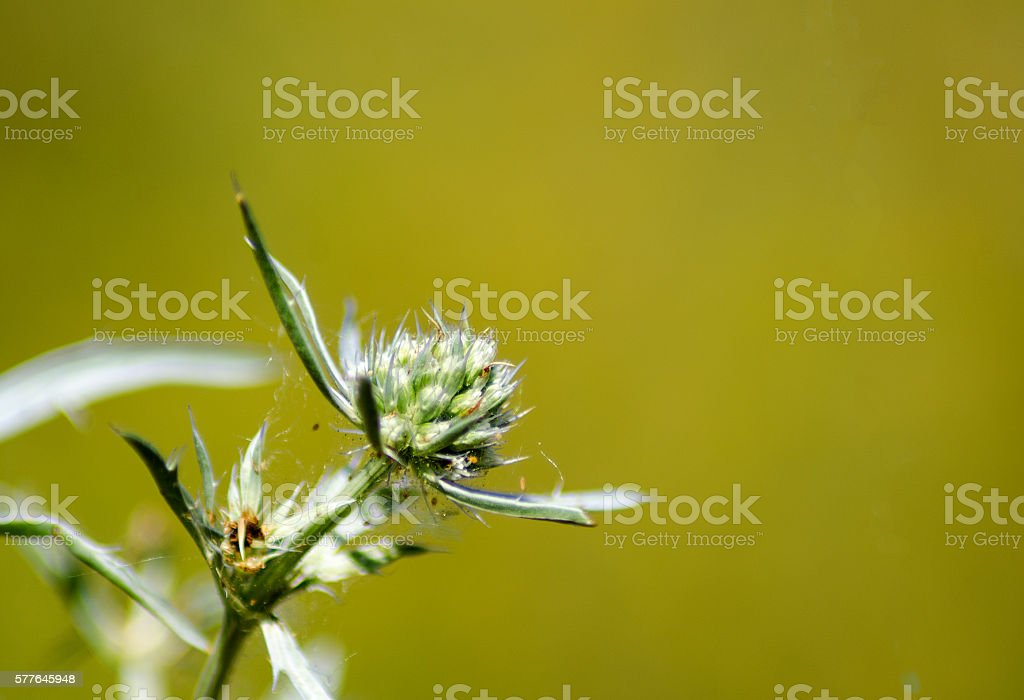 thistle in front of unfocused background stock photo