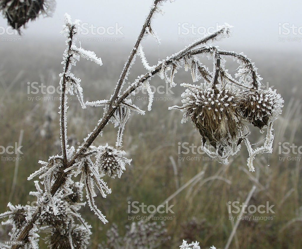 Thistle in the Mist with Hoar Frost royalty-free stock photo