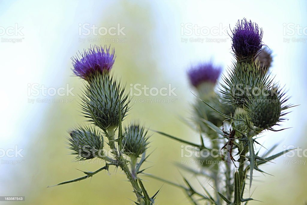Thistle in the Summer Wood stock photo