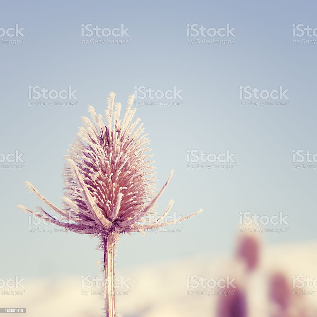 Thistle in Winter royalty-free stock photo
