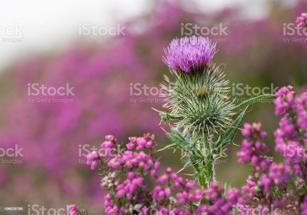 Thistle on a Heather covered hillside stock photo