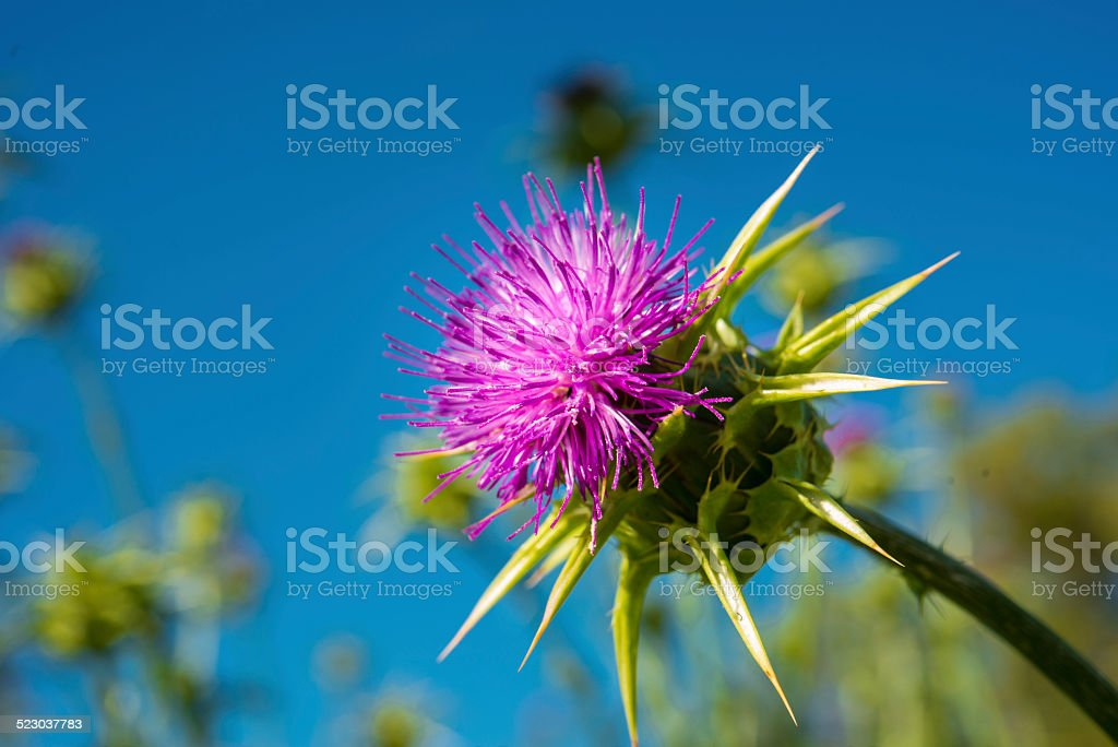 Distel stock photo