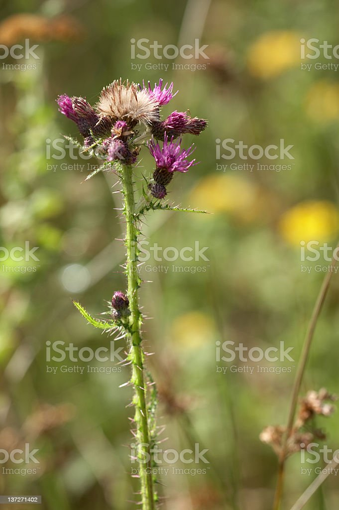 Thistle plant royalty-free stock photo