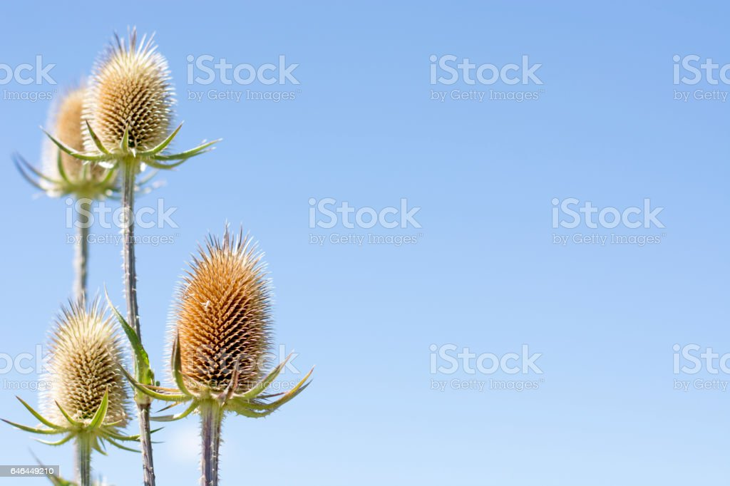 Thistle plant with blue background stock photo