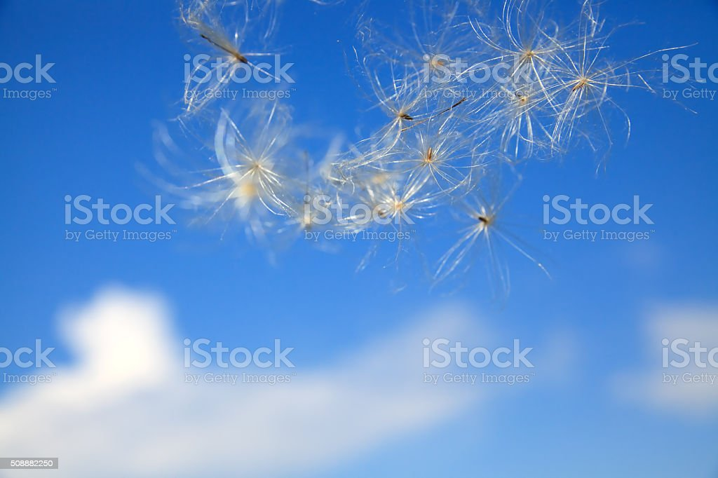 thistle seed stock photo