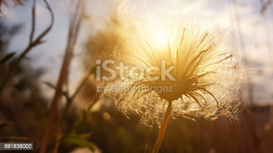 istock thistle seeds in sunset backlit in summer 591838002