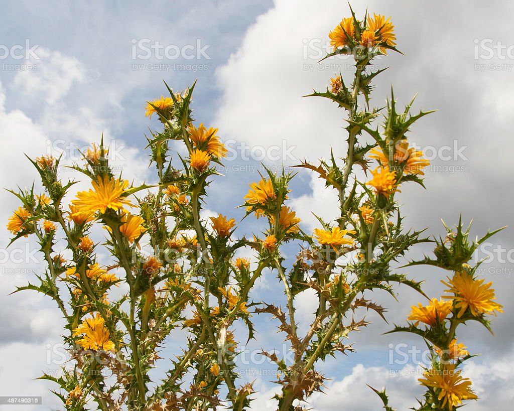 Thistle Spanish oyster thistle with Yellow Flowers - Cardo stock photo