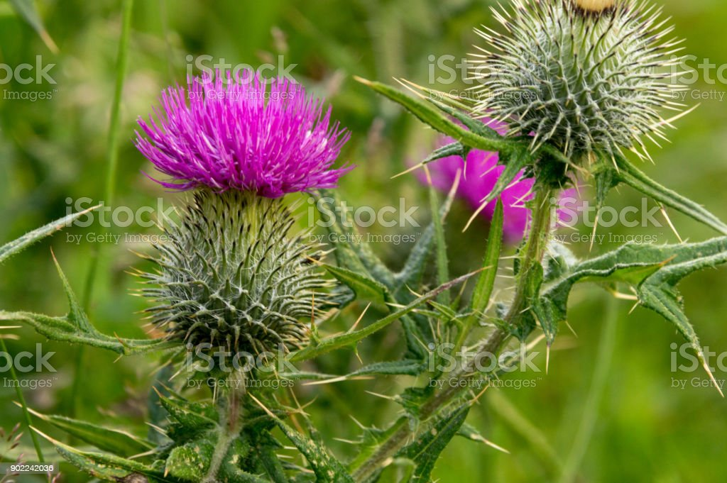 Thistle Symbol Of Scotland Stock Photo More Pictures Of Beauty In