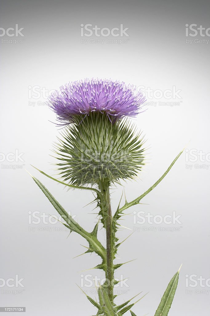 Thistle-02 royalty-free stock photo