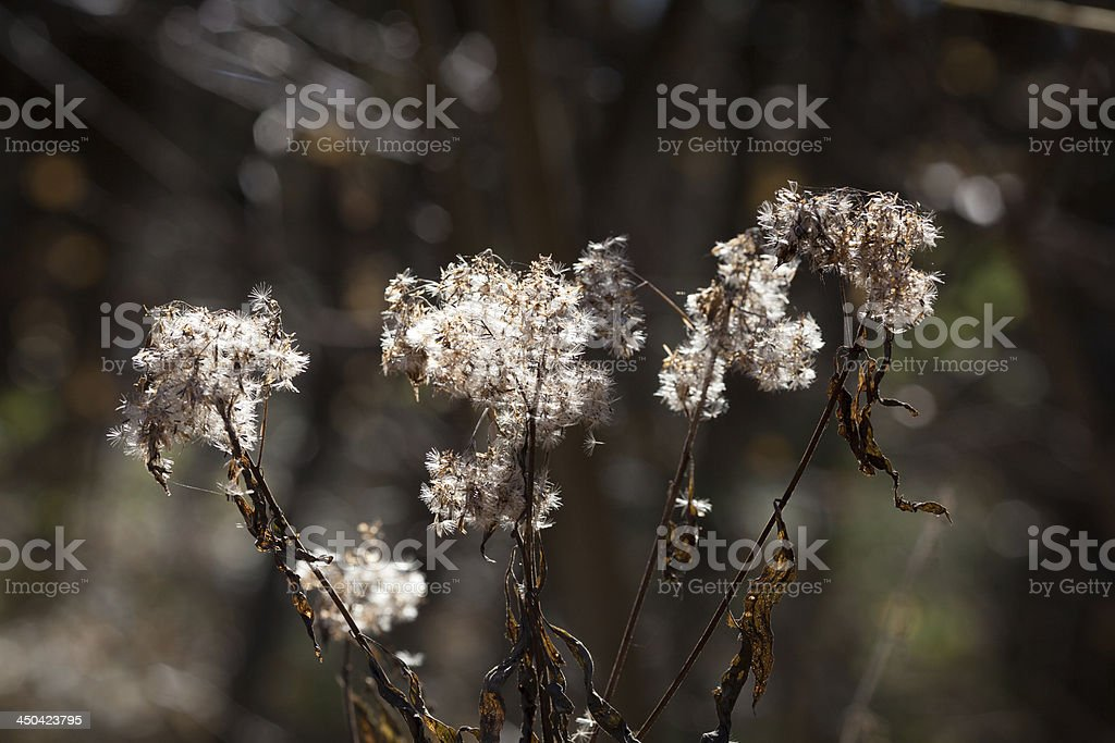 thistledown royalty-free stock photo