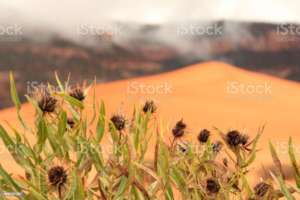 Thistles and Sand Dunes stock photo