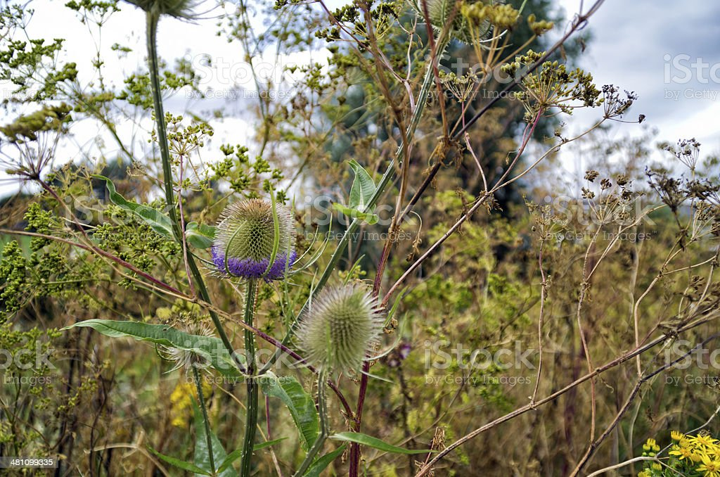 Thistles and weeds in marshland royalty-free stock photo