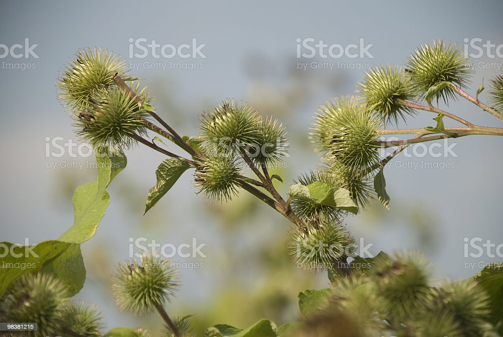 Thistles from Lorraine royalty-free stock photo