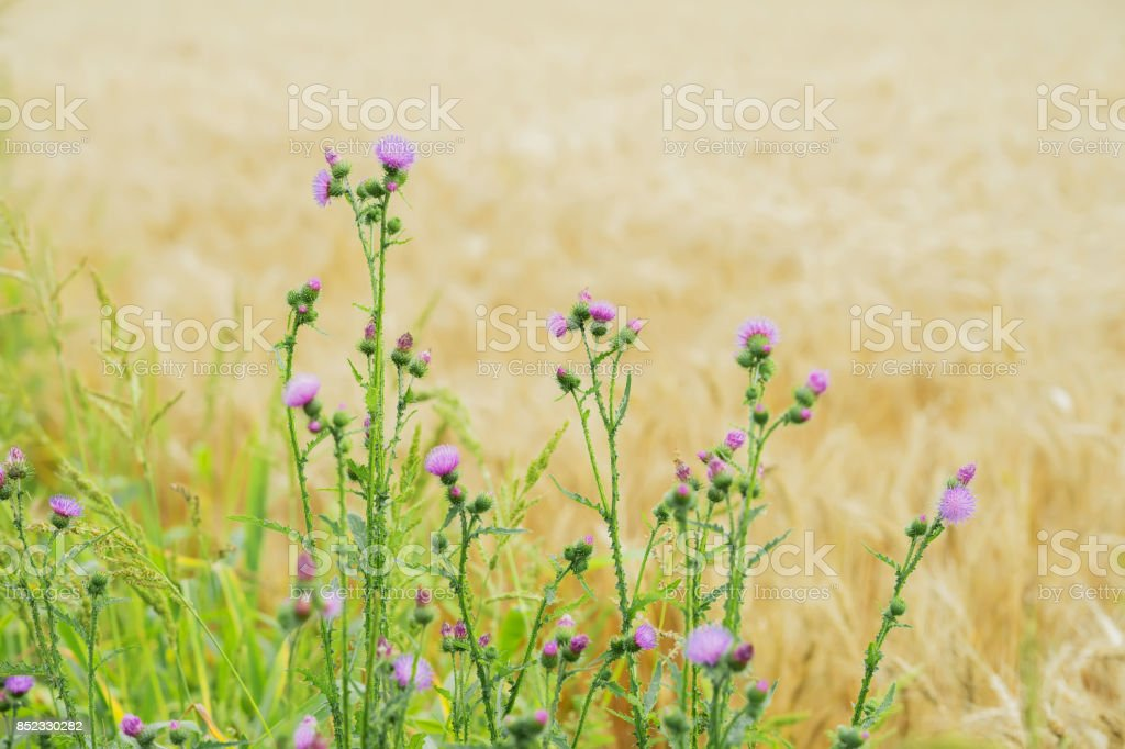 Thistles growing in meadows along with cereal, rural landscapes stock photo