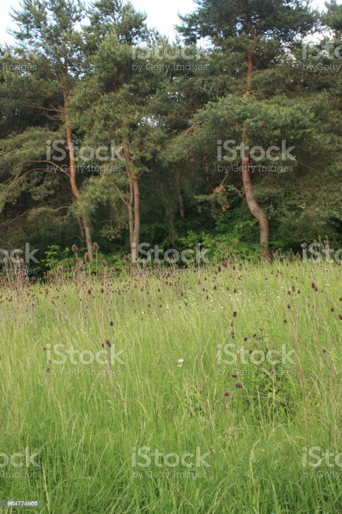 Thistles in a field bordered by a pine forest royalty-free stock photo
