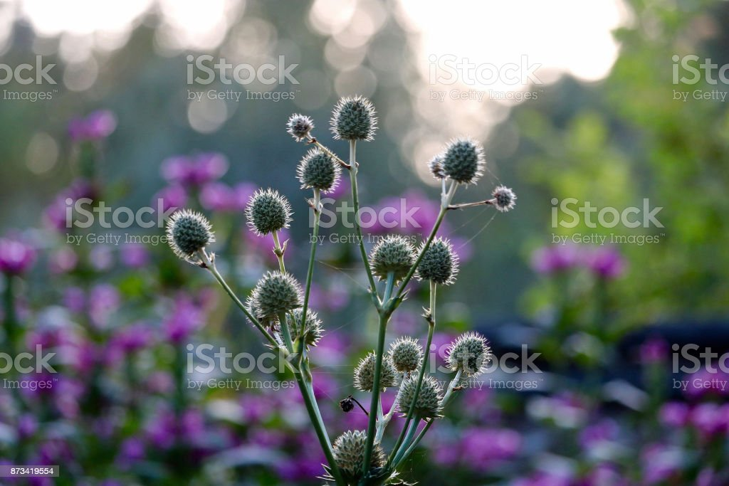 Thistles in the Light stock photo