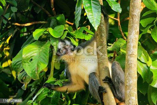 Thomas leaf monkey (Presbytis thomasi) sitting in a tree in Gunung Leuser National Park, Bukit Lawang, Sumatra, Indonesia. It is endemic to northern Sumatra