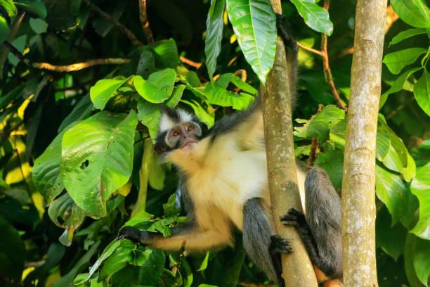 Thomas Leaf Monkey (Presbytis thomasi) sitzt in einem Baum im Gunung Leuser Nationalpark, Bukit Lawang, Sumatra, Indonesien – Foto