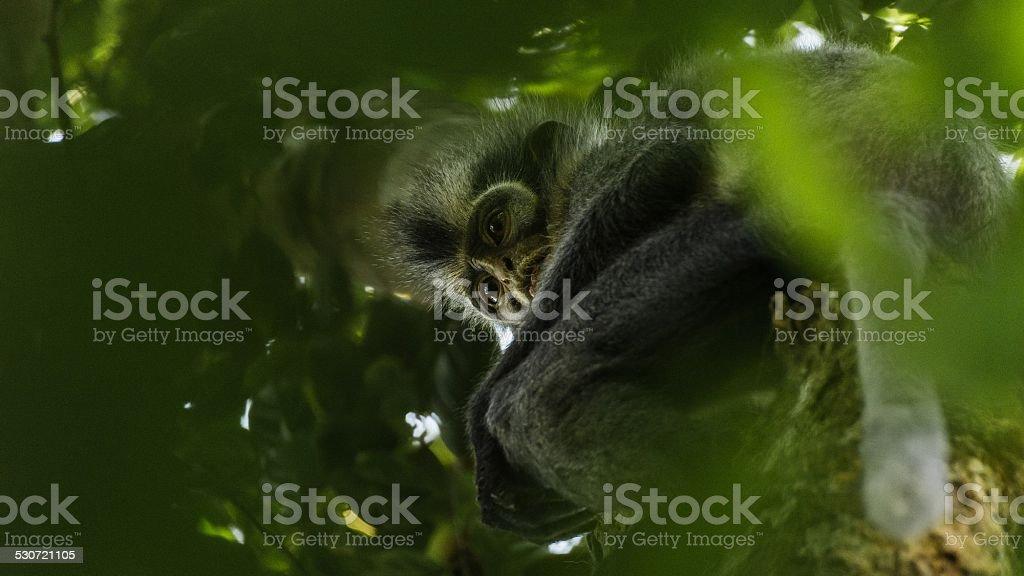 Thomas's leaf monkey. Bukit Lawang, Gunung Leuser National Park, Sumatra. stock photo
