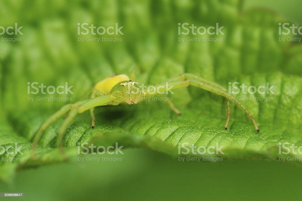Thomisidae sp. stock photo