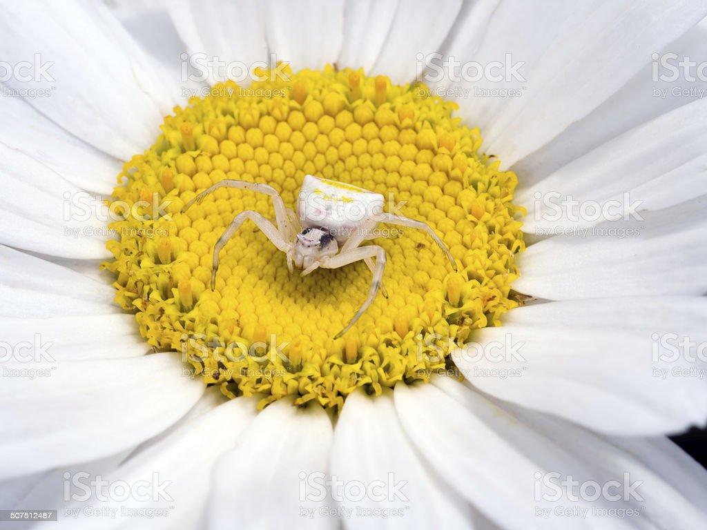 Thomisus Onustus Female Sitting In Large Daisy Flower Stock Photo
