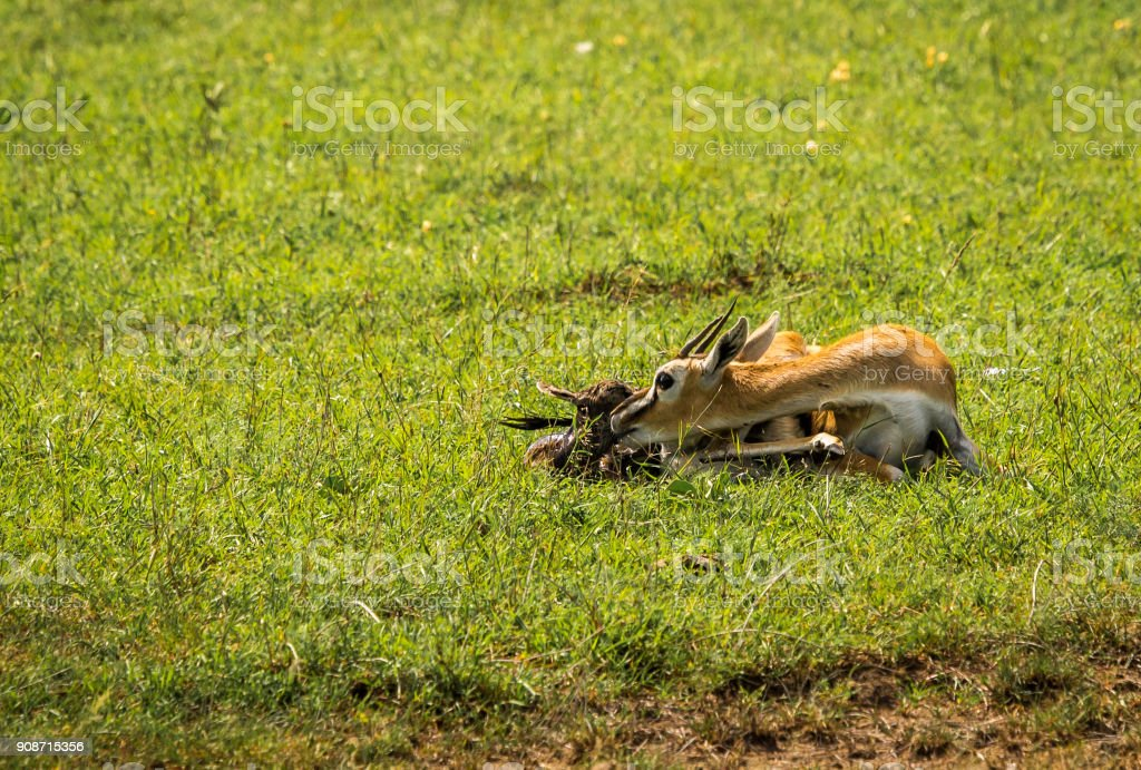 Thompson antelope giving birth to  baby in Masai Mra, Kenya stock photo