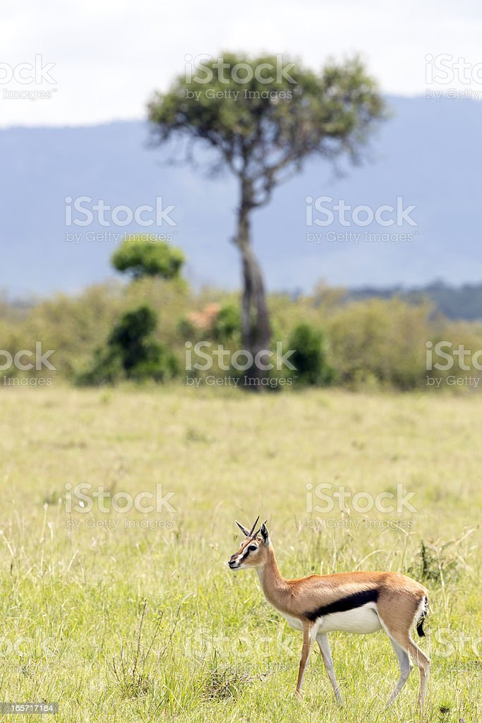 Thompson Gazelle and Acacia Tree stock photo