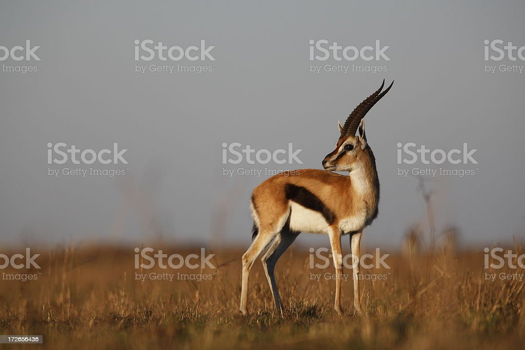 Thompson Gazelle stock photo
