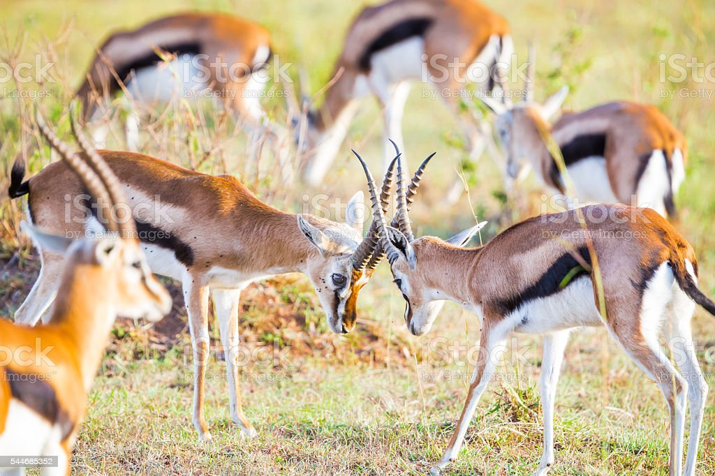 Thompson Gazelles - fighting stock photo