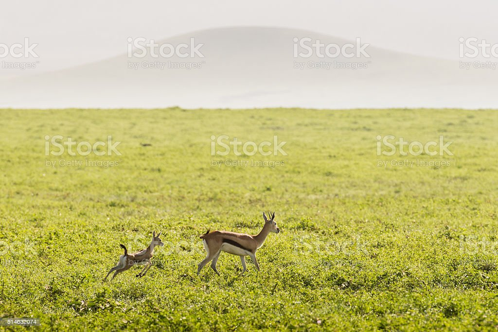 Thompson's Gazelle Mother and Baby in Africa stock photo
