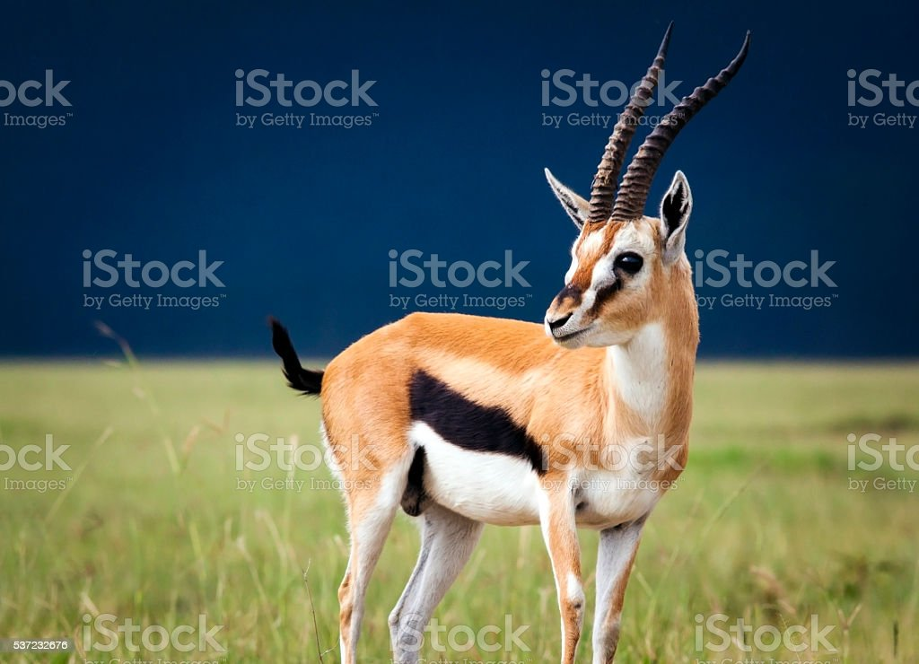 Thompson's Gazelle stock photo