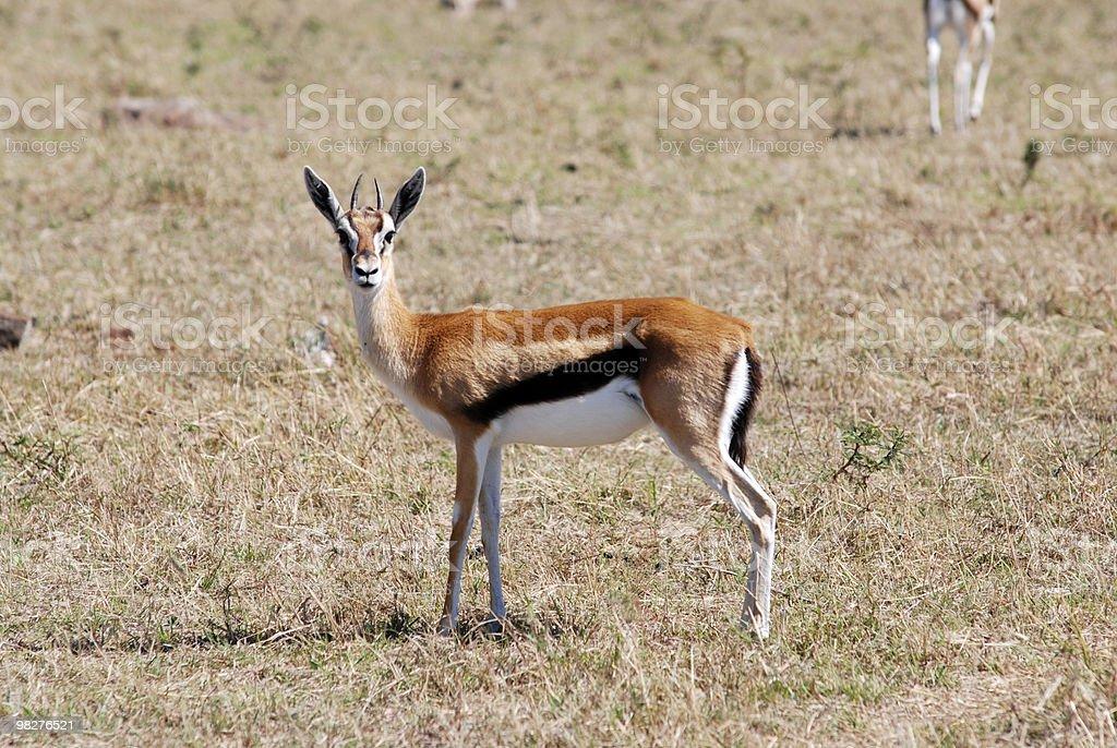 Thompsons gazelle royalty-free stock photo