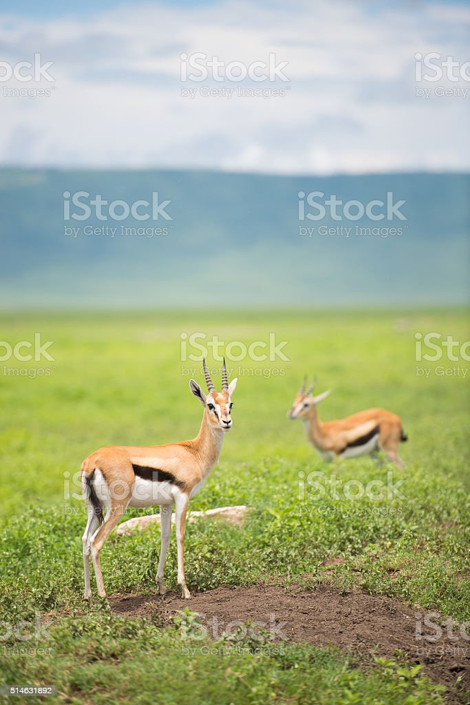 Thompson's Gazelles in Ngorongoro Crater Tanzania, Africa stock photo