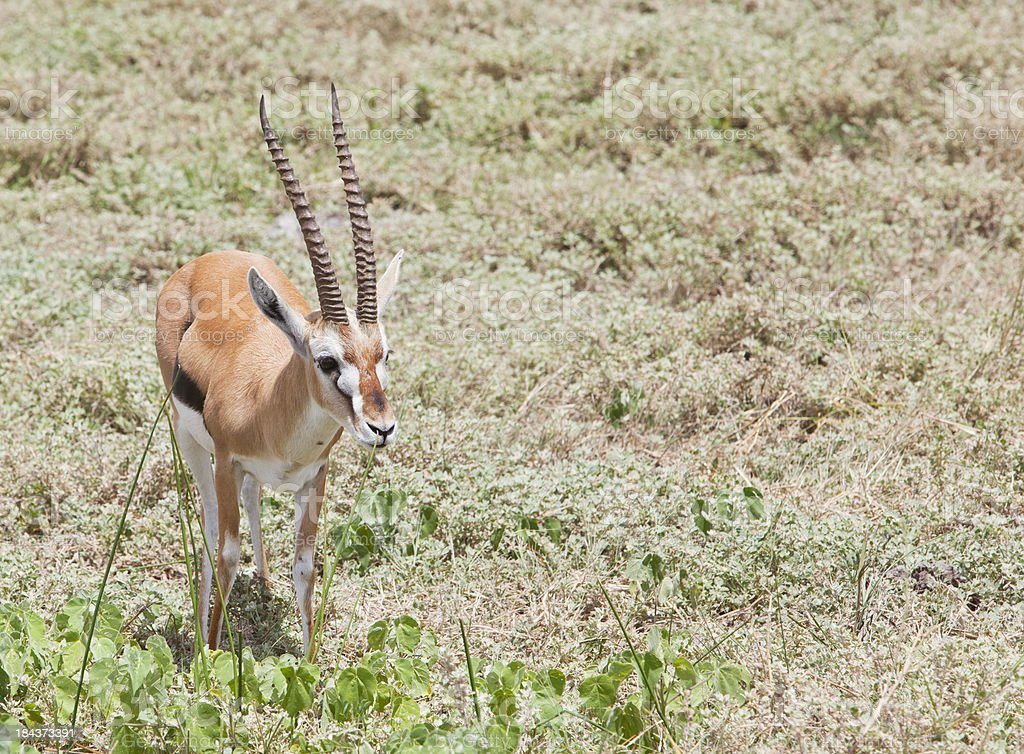 Thomson gazelle in Amboseli game reserve, Kenya. stock photo