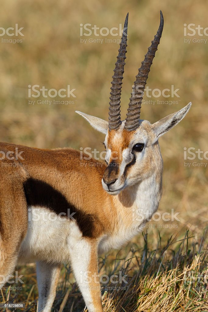 Thomson's Gazelle at Ngorongoro Crater, Tanzania Africa stock photo