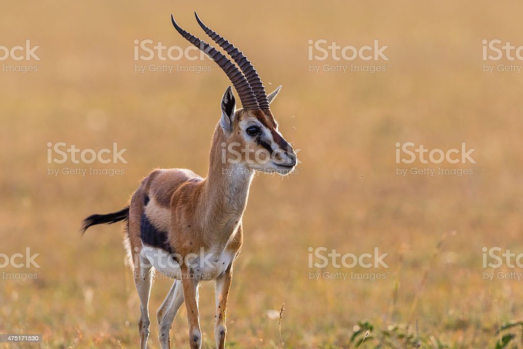 Thomson's gazelle in grassland stock photo