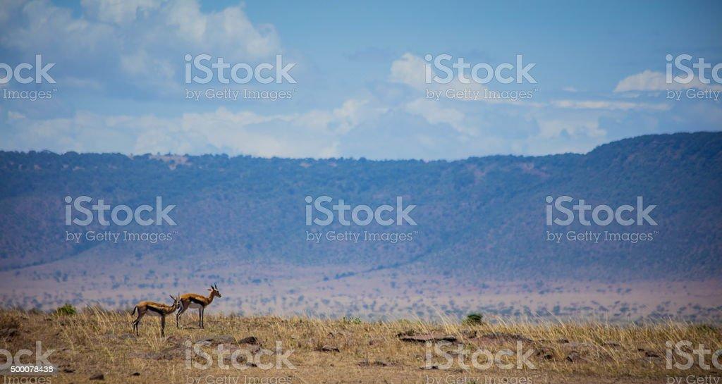 Thomson's gazelle in the Mara stock photo