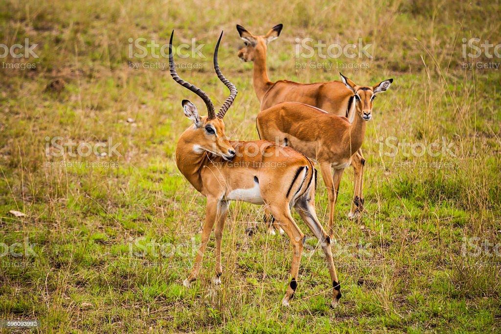 Thomson's gazelle in the Nairobi National Park. Lizenzfreies stock-foto