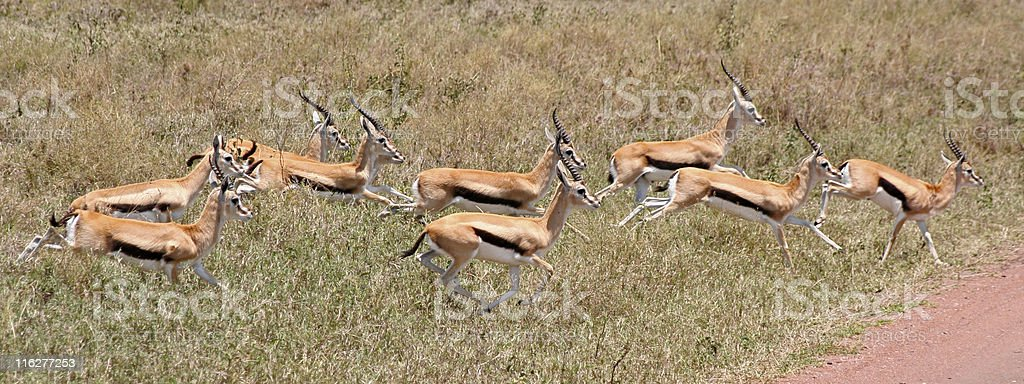 Thomson's Gazelle in the Serengeti stock photo