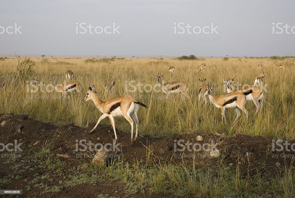 Thomson's gazelle (Eudorcas thomsoni), Masai Mara, Kenya royalty-free stock photo