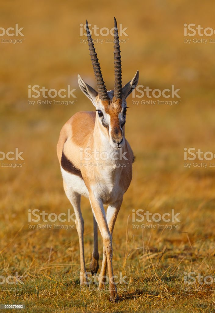 Thomson's Gazelle, Ngorongoro Crater, Tanzania Africa stock photo