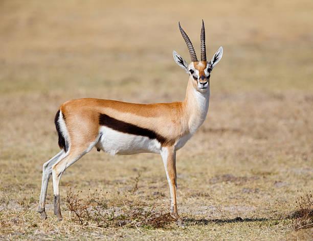 thomson's gazelle, ngorongoro, tanzania, africa - single pampas grass bildbanksfoton och bilder