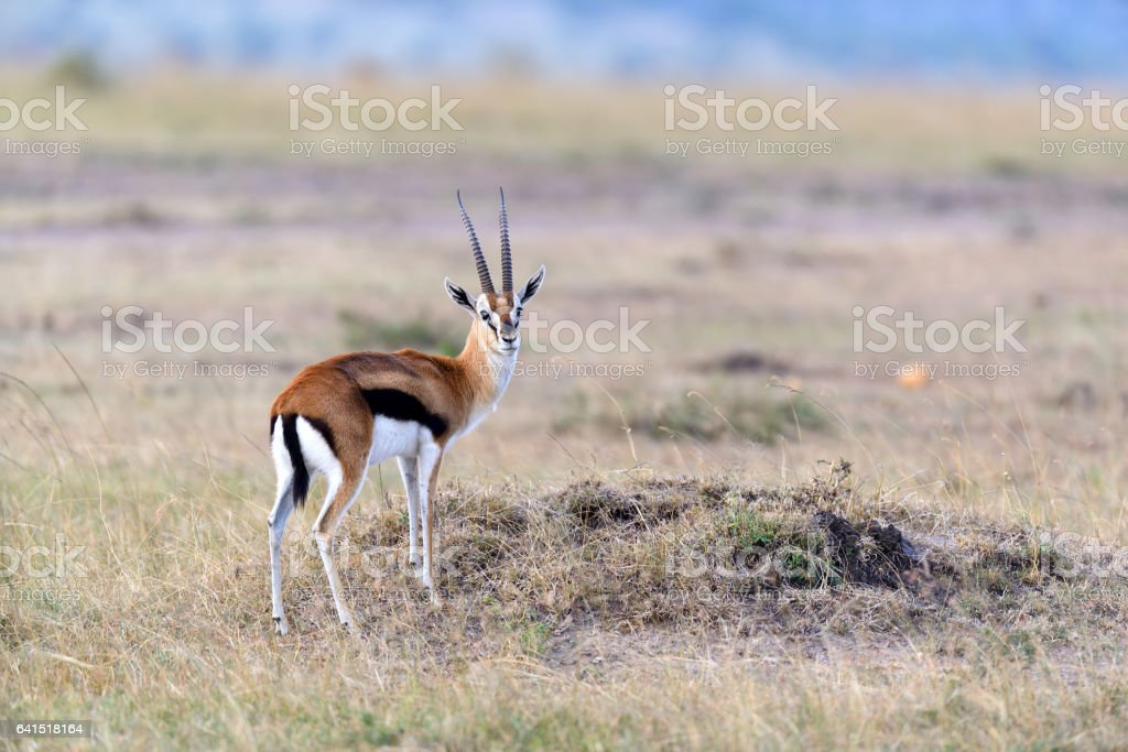 Thomson's gazelle on savanna stock photo