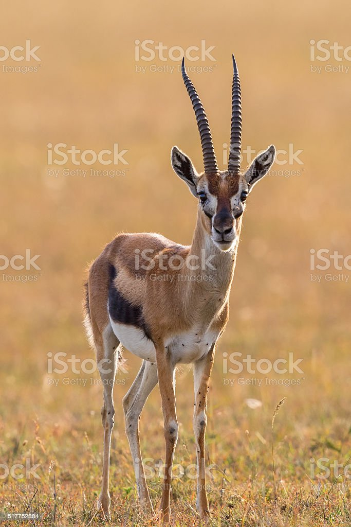 Thomson's gazelle on the savannah stock photo