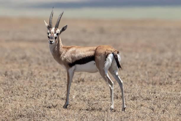 """Résultat de recherche d'images pour """"thomson's gazelle"""""""