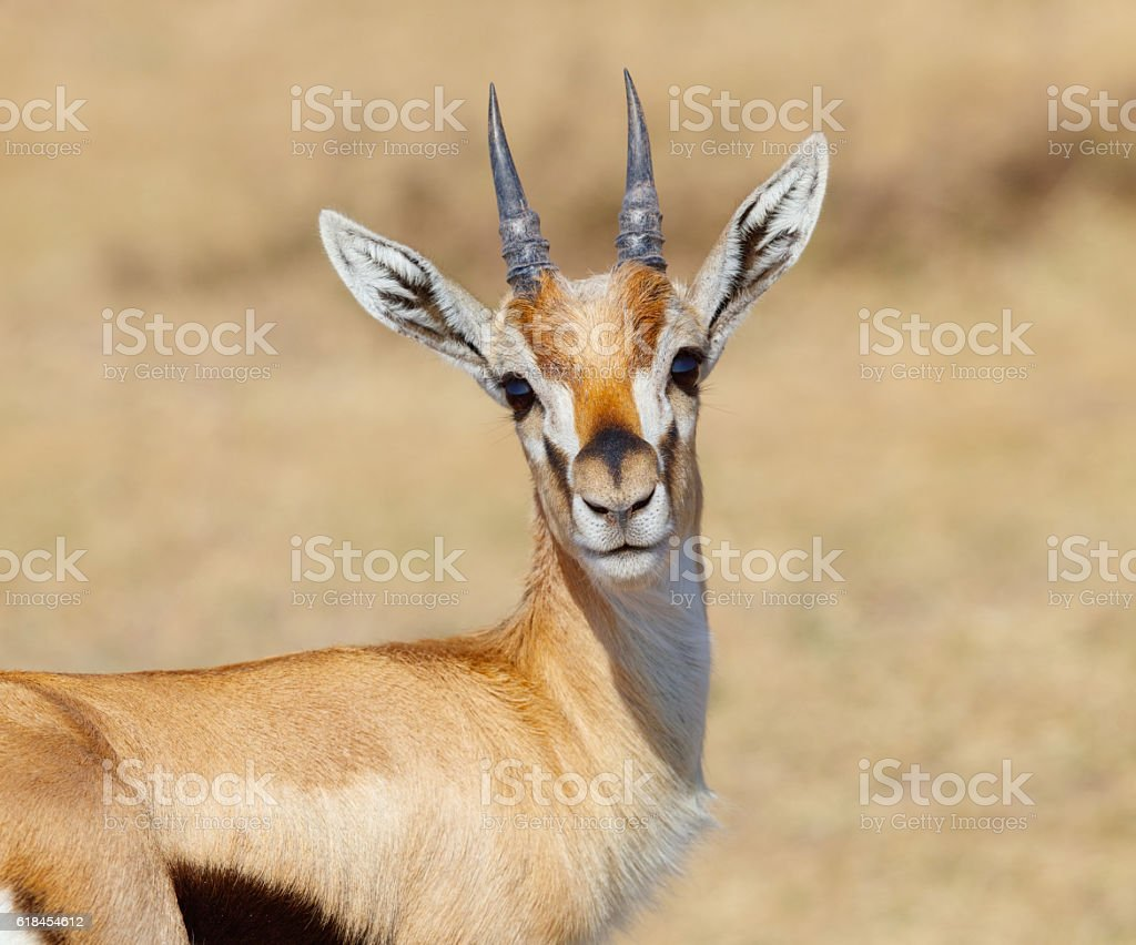 Thomson's Gazelle, Tanzania Africa stock photo