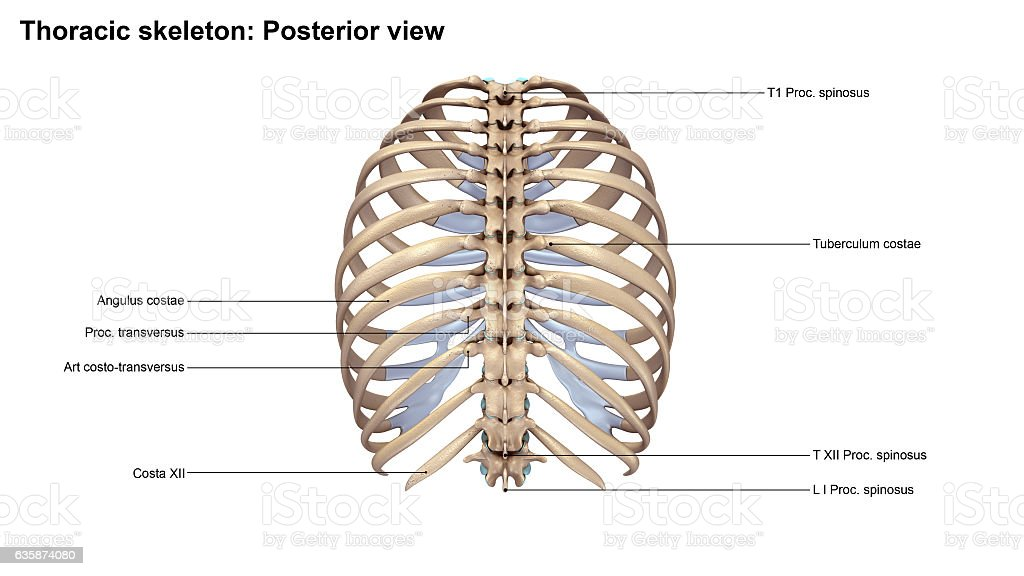 Thoracic Skeleton Posterior View Stock Photo & More Pictures of ...
