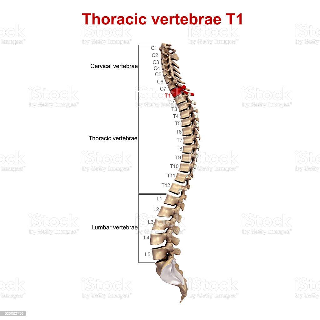 Thoracic vertebrae  T01 stock photo