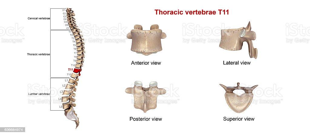 Thoracic Vertebrae T11 Stock Photo & More Pictures of Anatomy | iStock